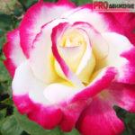 Розовое хобби